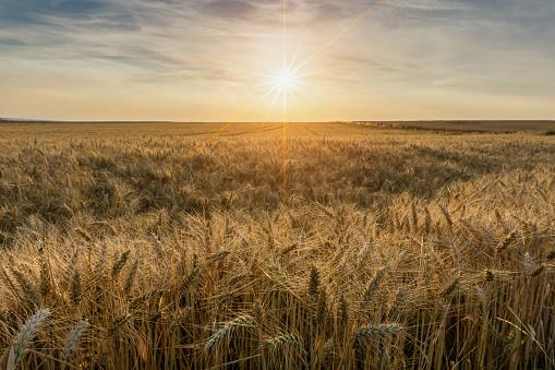 Beautiful sunset over wheat field - gettyimageskorea