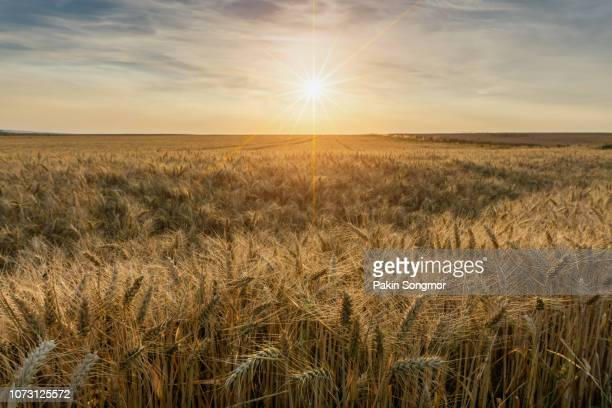 beautiful sunset over wheat field - campo foto e immagini stock