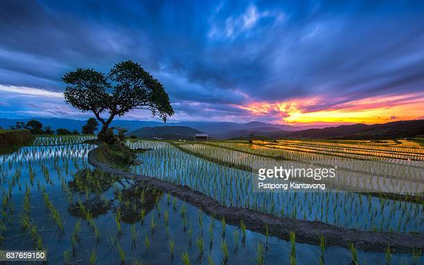 beautiful sunset with rice fields chiangmai , thailand - reisterrasse stock-fotos und bilder