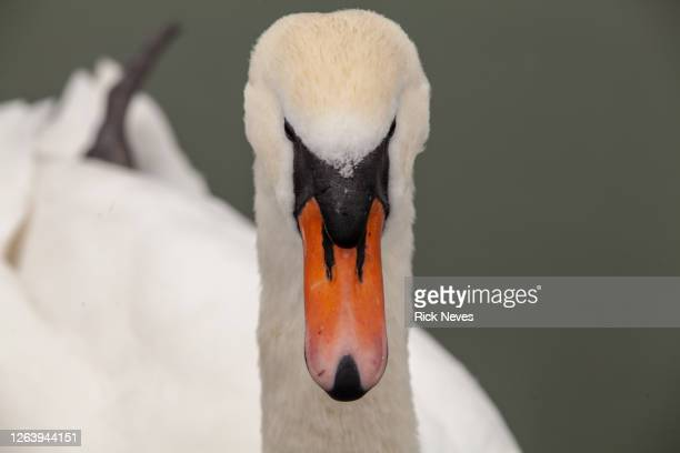 beautiful swan close up in park at cologne city - tundra stock-fotos und bilder