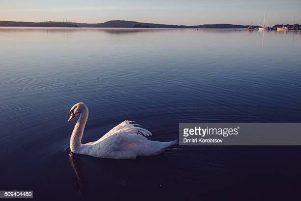 Beautiful swan on sunrise in Eastern harbor of Mariehamn