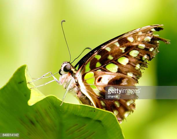 beautiful tailed jay butterfly  sitting on a leaf