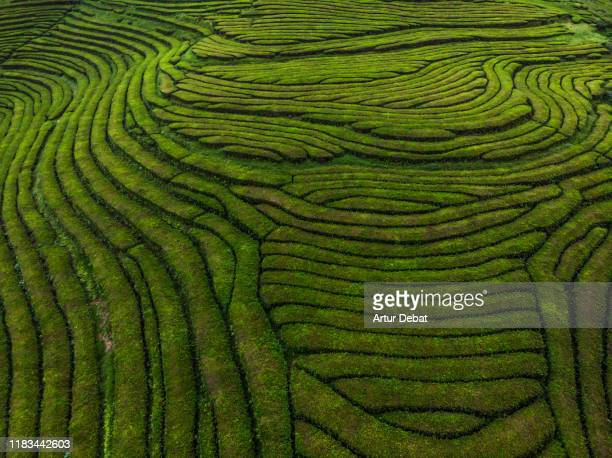 beautiful tea fields formations from drone point of view. - azores fotografías e imágenes de stock