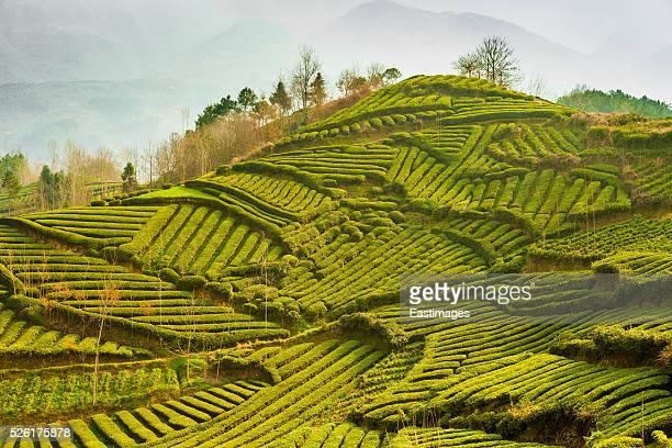 Beautiful tea garden,Hanzhong,China.