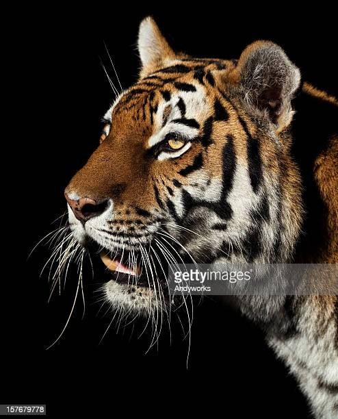 beautiful tiger in the evening - dark panthera stock pictures, royalty-free photos & images
