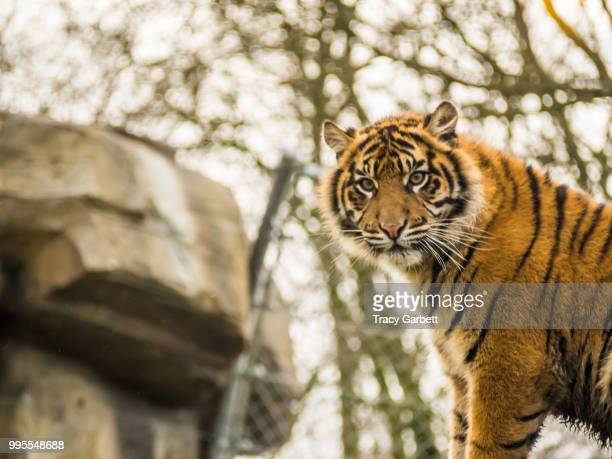 beautiful tiger - siberian tiger stock pictures, royalty-free photos & images