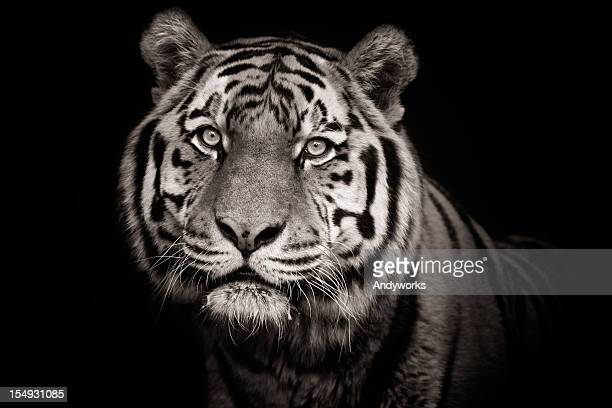 beautiful tiger xxxl - dark panthera stock pictures, royalty-free photos & images