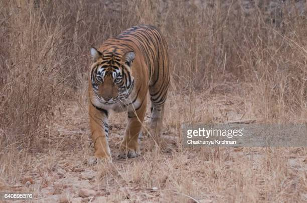 A beautiful tigress named Noor walking towards safari gypsy in a morning drive through Ranthambore National Park in Rajastan