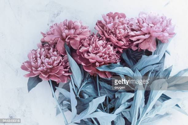 beautiful toned pink peony flowers on white table - rose colored stock pictures, royalty-free photos & images