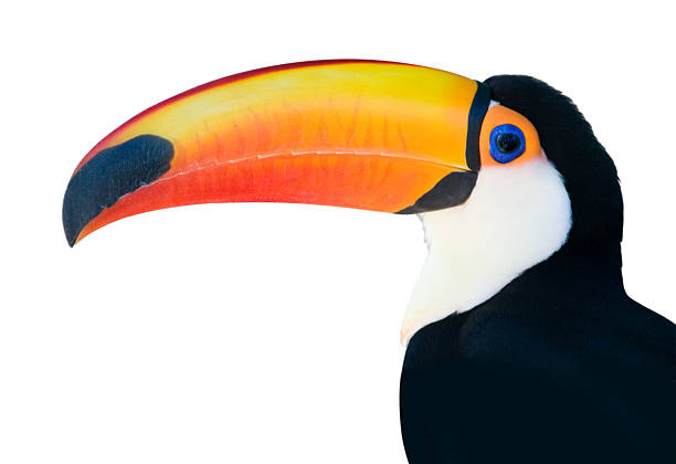 Beautiful Toucan On White Background Wall Art