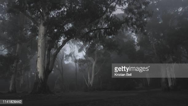 beautiful tranquil, foggy parkland scene in temperate eucalyptus forest of australia - victoria stock-fotos und bilder