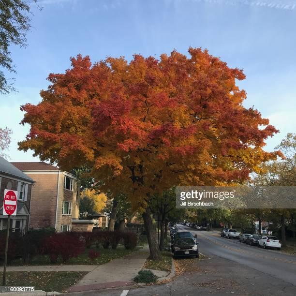 beautiful tree in evanston il - evanston illinois stock pictures, royalty-free photos & images