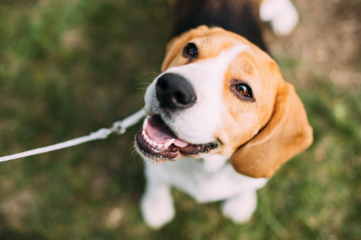 Beautiful Tricolor Puppy Of English Beagle Sitting On Green Grass. Smiling Dog 926877064