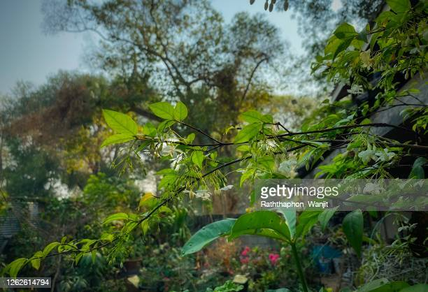 beautiful tropical flowers, wild water plum. - 7894 stock pictures, royalty-free photos & images