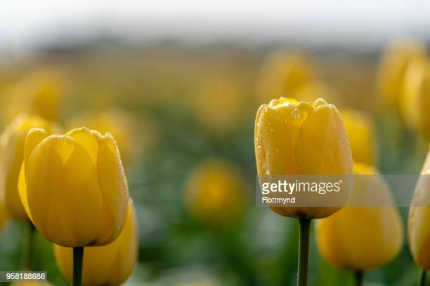 Beautiful tulips covered with dew