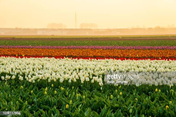 beautiful tulips fields in the netherlands in spring under a sunrise sky - tulips and daffodils stock pictures, royalty-free photos & images
