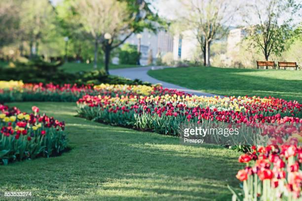 Beautiful tulips in bloom in park