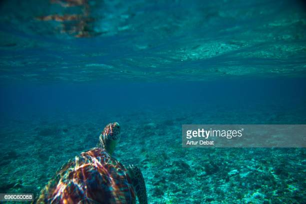 Beautiful underwater sea life with big turtle swimming close to Gili islands, a paradise place for snorkeling during travel vacations in Indonesia.