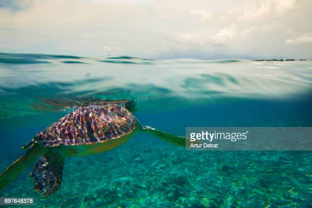 beautiful underwater sea life with big turtle swimming close to gili islands, a paradise place for snorkeling during travel vacations in indonesia. - gili trawangan stock photos and pictures