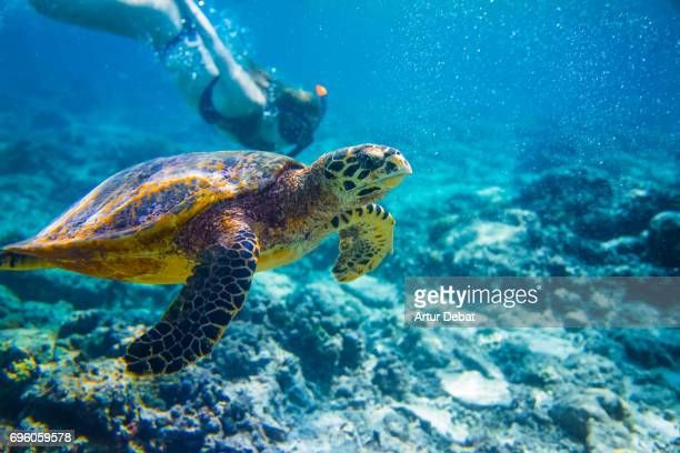 beautiful underwater sea life with old turtle swimming with woman doing snorkel close to gili islands a paradise for snorkeling during travel vacations in indonesia. - gili trawangan stock photos and pictures
