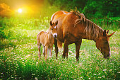 Beautiful unicorns Mare and Foal in the magical forest landscape at sunset, realistic picture. Unicorn mother and unicorn foal run together in a colorful blooming field with spring or summer flowers.
