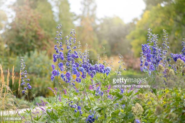 beautiful vibrant blue flowers of the delphinium or larkspur a cottage garden perennial plant - delphinium stock pictures, royalty-free photos & images
