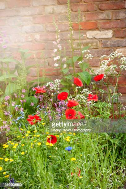 beautiful vibrant english cottage garden flowers in the hazy summer sunshine including red poppies - buttercup stock pictures, royalty-free photos & images