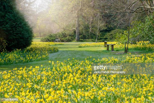 beautiful vibrant yellow daffodil flowers in a spring garden also known as narcissus - daffodils stock pictures, royalty-free photos & images