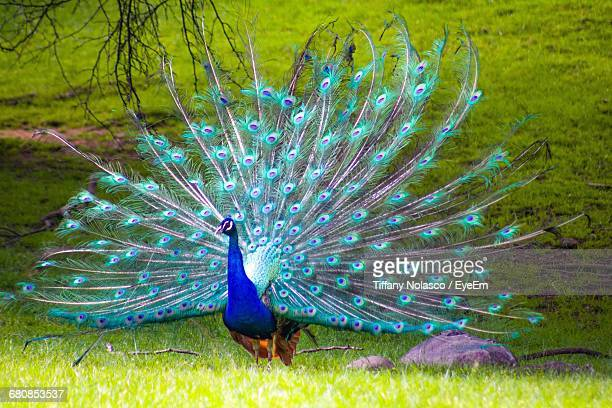 beautiful view of a peacock - peacock stock pictures, royalty-free photos & images