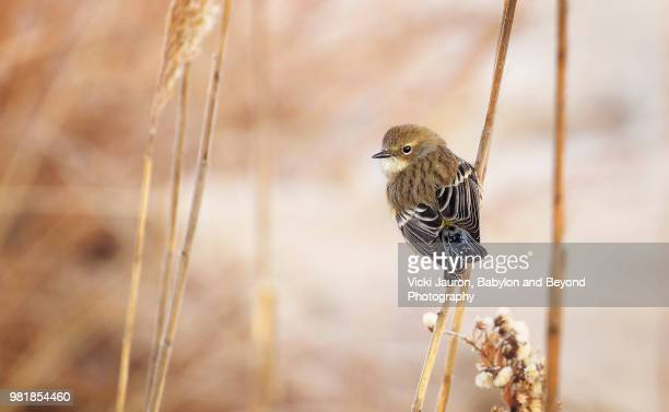 beautiful view of a yellow-rumped warbler looking back at the camera at jones beach - jones beach stock pictures, royalty-free photos & images