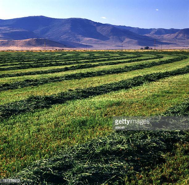 A beautiful view of alfalfa fields on a nice day