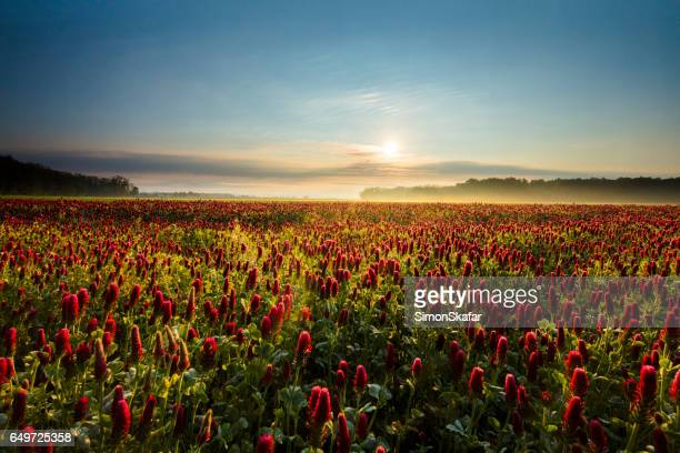 Beautiful view of red clover plants during sunset