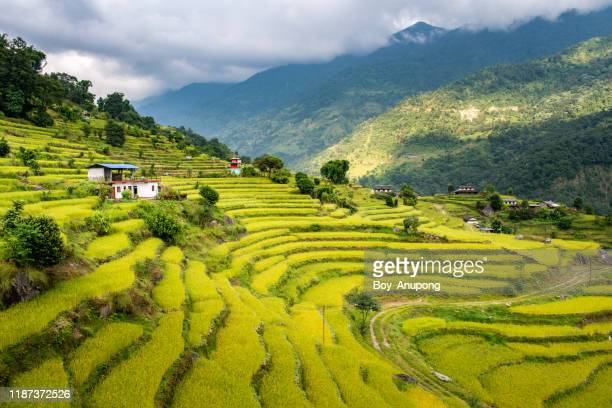 beautiful view of rice terraces in countryside of ghandruk village, nepal. - ネパール ストックフォトと画像