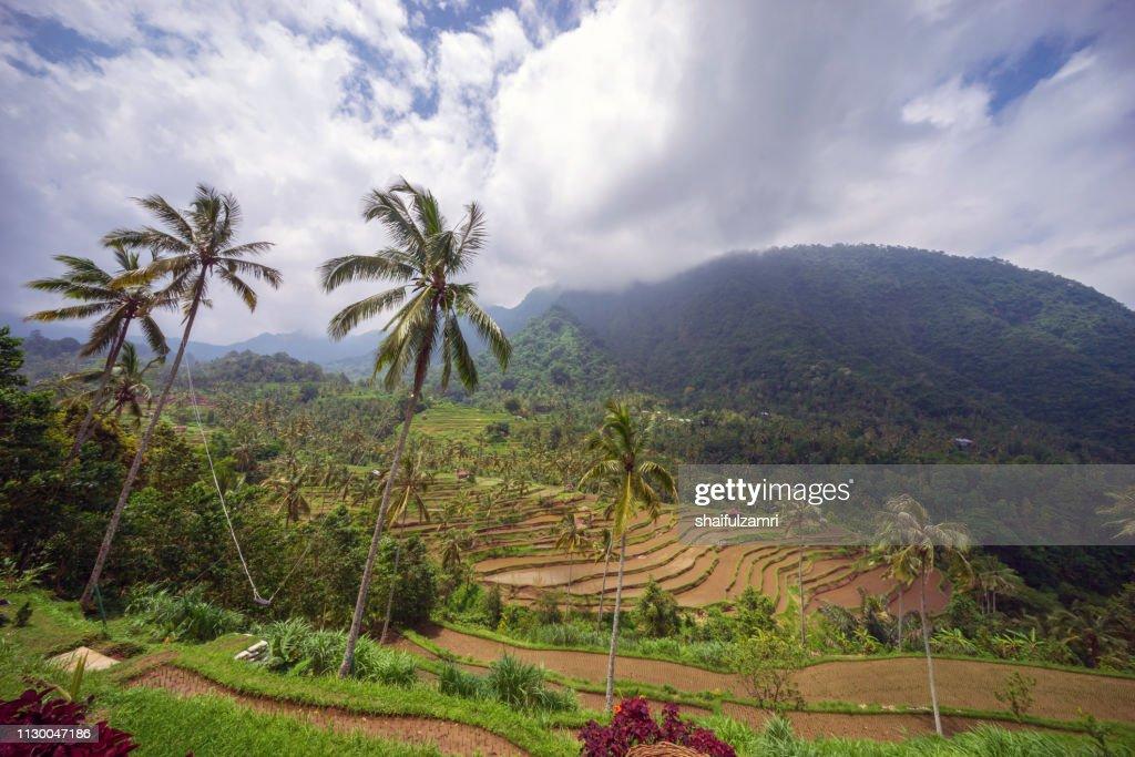 Beautiful view of terraced rice paddy field landscape at Kabupaten Buleleng Bali, Indonesia. : Stock Photo
