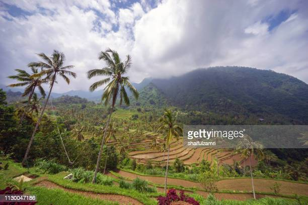 Beautiful view of terraced rice paddy field landscape at Kabupaten Buleleng Bali, Indonesia.