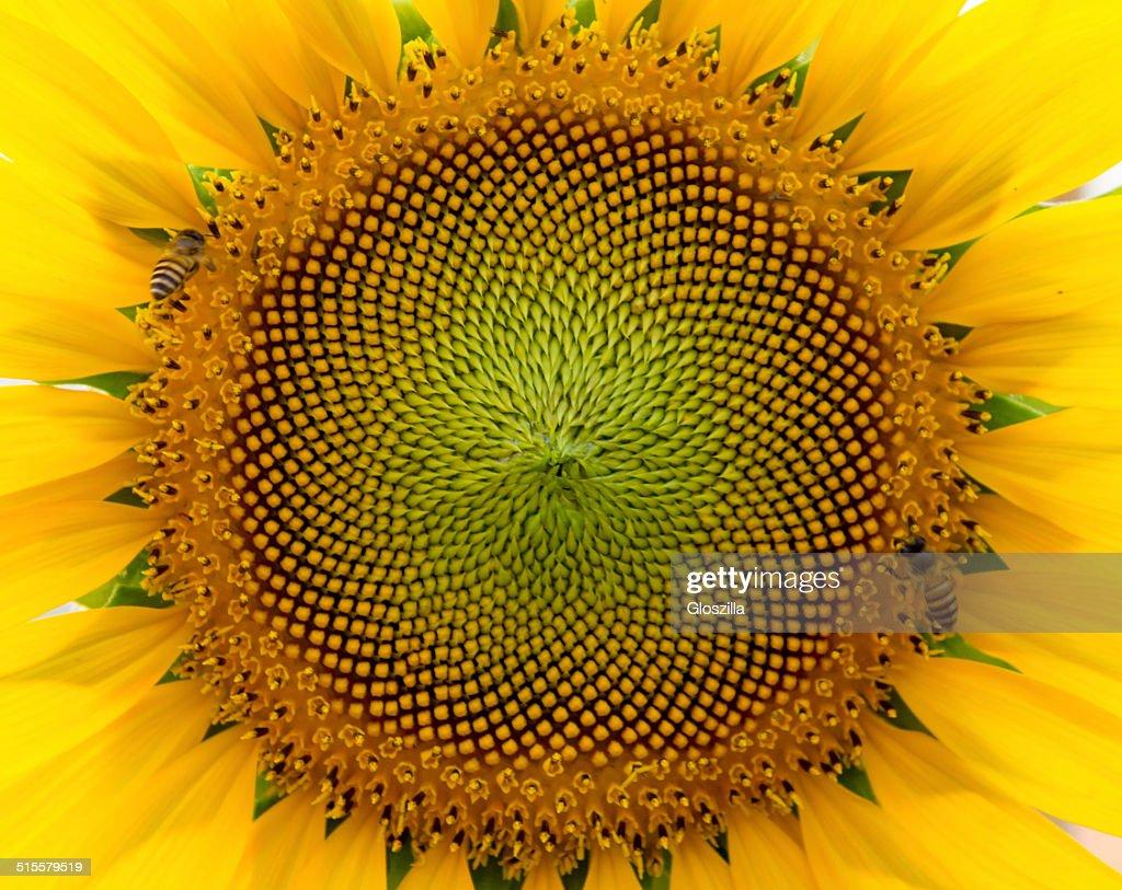 beautiful warm sunflower close : Stock Photo