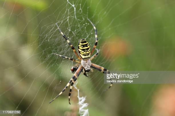 a beautiful wasp spider, argiope bruennichi, eating a fly that has got caught in its web. - animals in the wild stock pictures, royalty-free photos & images