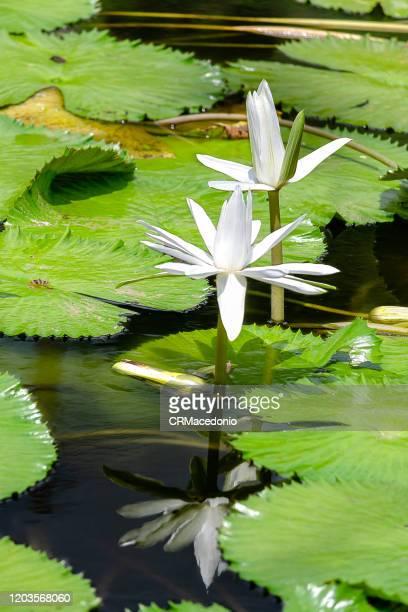 beautiful water lilies, beautifying parks and gardens around the world. - crmacedonio - fotografias e filmes do acervo