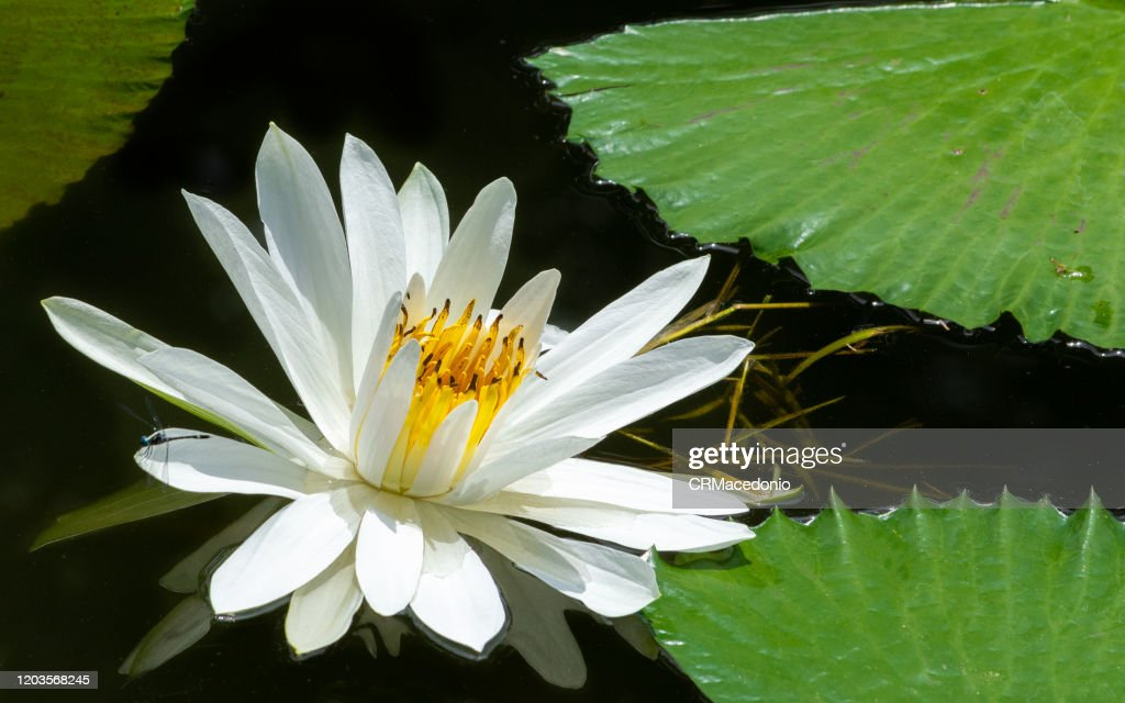 Beautiful water lilies, beautifying parks and gardens around the world. : Stock Photo