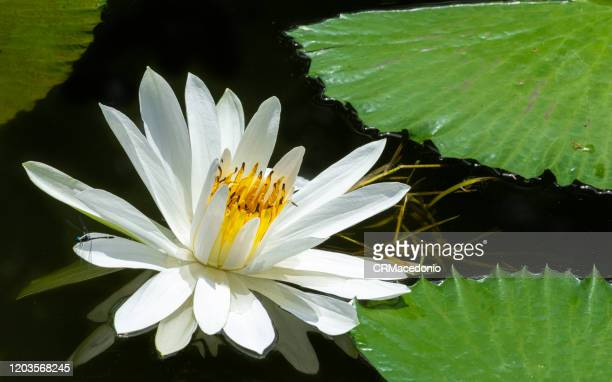 beautiful water lilies, beautifying parks and gardens around the world. - crmacedonio fotografías e imágenes de stock