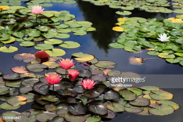 beautiful water lily flowers floating on pond - aquatic organism stock pictures, royalty-free photos & images