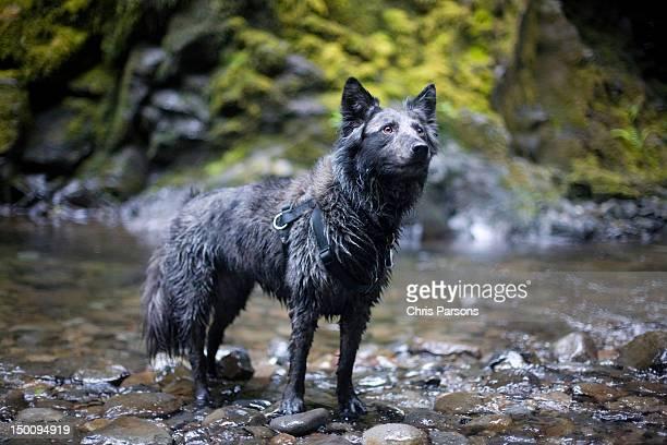 Beautiful, wet dog in Oregon stream.