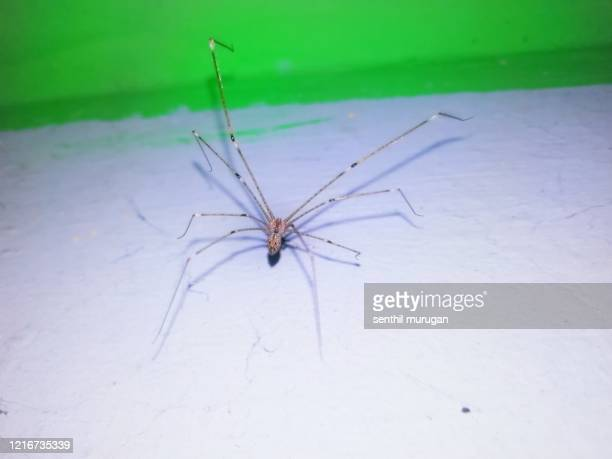 beautiful white colour cellar spider on wall - ncaa stock pictures, royalty-free photos & images
