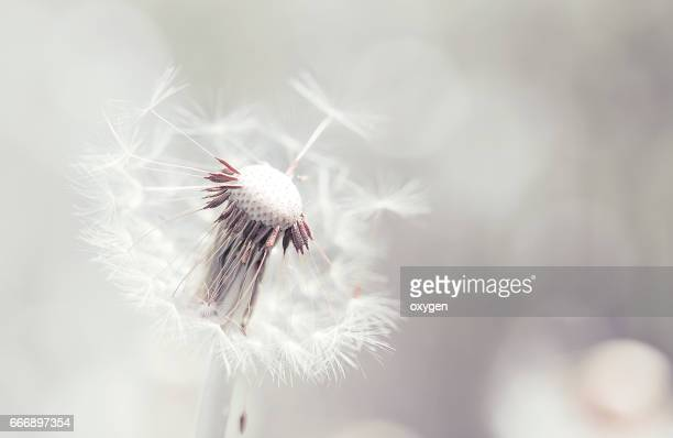 Beautiful white dandelion with seeds on tender background