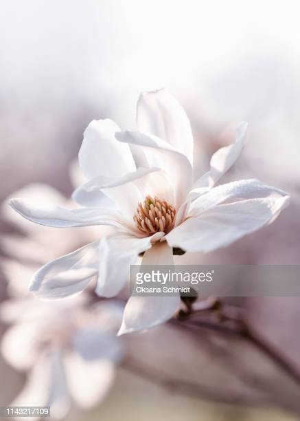 beautiful white flowering star magnolia in the morning. - blossom stock pictures, royalty-free photos & images