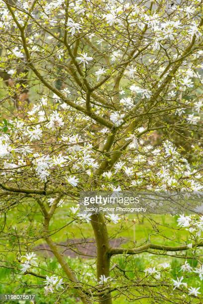 beautiful white flowers of magnolia stellata, sometimes called the star magnolia in soft spring sunshine - branch stock pictures, royalty-free photos & images