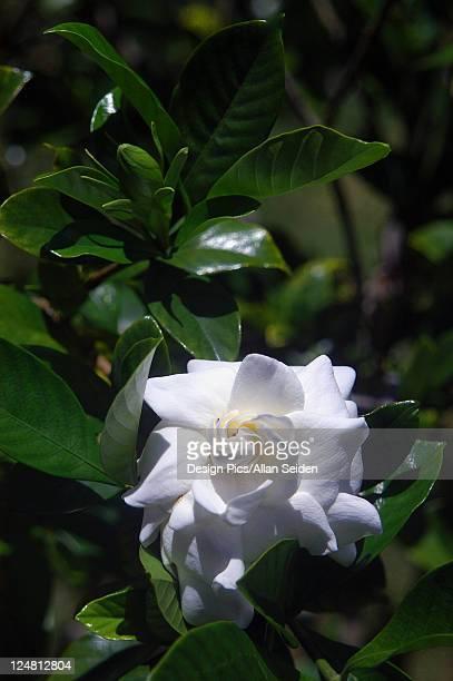 Beautiful white gardenia among green leaves.
