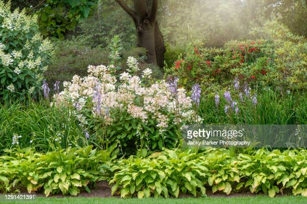 beautiful white hydrangea lacecap flowers planted with green hosta plants in and english summer garden - garden stock pictures, royalty-free photos & images