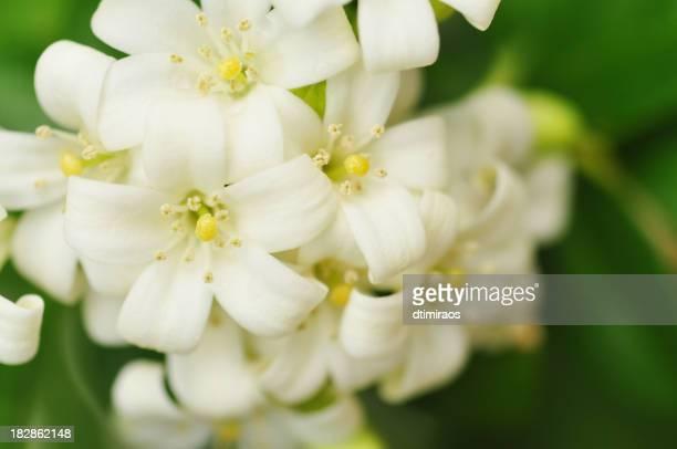 beautiful white jasmine flowers - jasmine stock photos and pictures