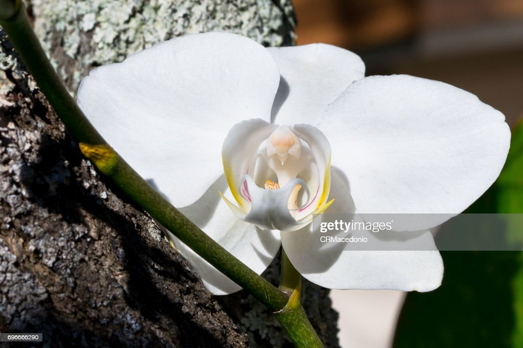 A beautiful white orchid of the phalaenopsis family. : Stock Photo